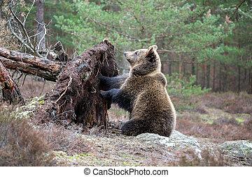 arctos), brązowy, Zima,  (ursus, Niedźwiedź, las