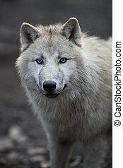 arctos), polar, lúpus, ou, este, (canis, ártico, -,...