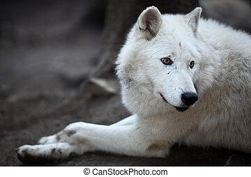 arctos), polar, lupus, o, esto, (canis, ártico, -, primer plano, depredador, hermoso, lobo, retrato, blanco, aka