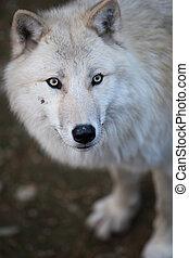 arctos), polare, lupus, o, questo, (canis, artico, -, primo piano, predatore, bello, lupo, ritratto, bianco, aka