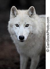 arctos), polarny, toczeń, albo, to, (canis, arktyka, -, szczelnie-do góry, drapieżnik, piękny, wilk, portret, biały, aka