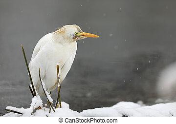 Great white egret in winter - Casmerodius albus