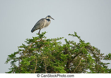 Ardea cinerea on top of a tree - Long shot of ardea cinerea...