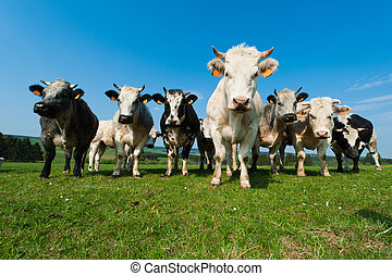 ardennes, vaches, cultures