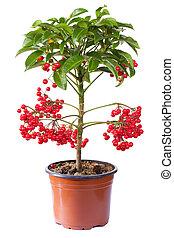 ardisia, plante, floraison, pot fleurs, isolé, blanc
