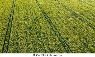 area., belarus, sommet, champ, vue, développement, jaune, rapeseed, photography., concept, printemps, sector., aérien, wallpaper., agricole