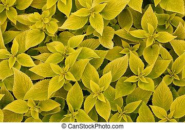 area bright green leaf coleus close-ups, macro