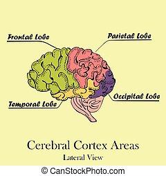 areas., lateraal, gekleurd, hersenen, menselijk, aanzicht