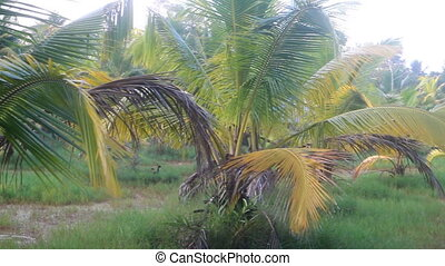 Areca palms, growing in boggy area. - Areca palms...