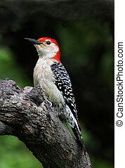 Red Bellied Woodpecker - ARed Bellied Woodpecker sitting on ...