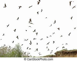 areia, martin, rebanho pássaros, isolado