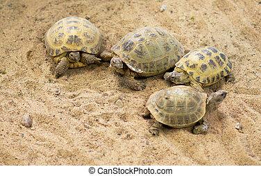 areia, praia., reunião, tartarugas