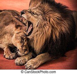 Arena, leoa, Circo, Leão, deslumbrante, Rugindo