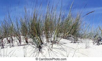 arenaria, ammophila
