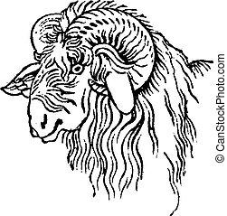 Argali head, vintage engraving.