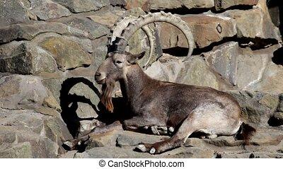 Argali (mountain sheep ) lies on big stones