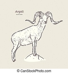 argali, sheep, (species, ovis, montaña, mano, ammon),...