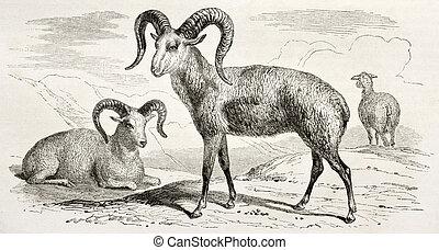 Argali (mountain sheep) old illustration. Created by Adam...