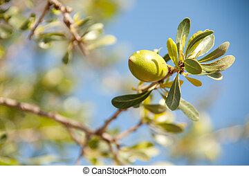 Argan nut on a branch on a blue sky bacjground
