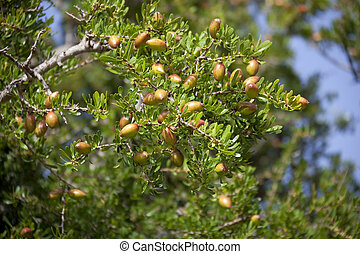 Argan nuts on tree. Concept for healthy culinary oil, massage oil, and cosmetics.