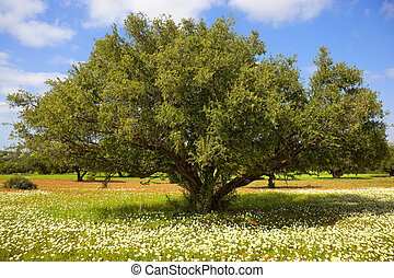 Argan tree with nuts on branches