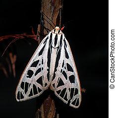 Arge tiger moth (Grammia arge) on bald cypress tree (Taxodium distichum) showing white and black striped pattern, orange border