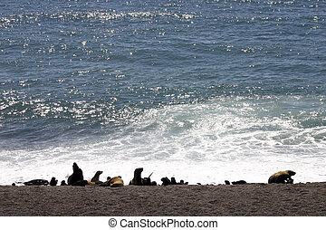 Argentina's Sea lions in Peninsula de valdez, Otaria ...