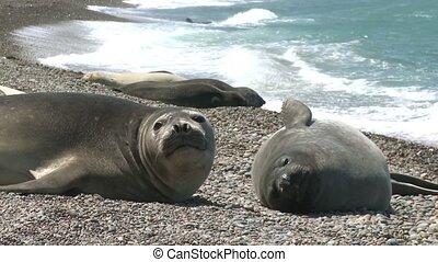 Argentinean fur seals lying on the coastline of Atlantic...