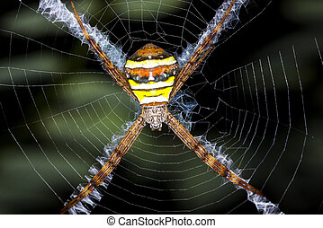 Argiope argentata spider in web