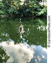 Argiope Aurantia or Yellow Garden Spider and Web - A huge...