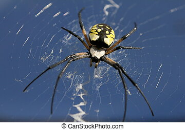 argiope & blue sky - Looking up at a sunlit female black &...