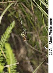 Argiope Bruennichi, dangerous spider, catches food