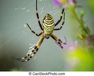 argiope bruennichi spider in its web 1