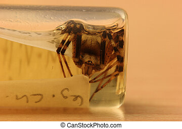 Argiope Bruennichi - Wasp spider (Argiope bruennichi) from a...