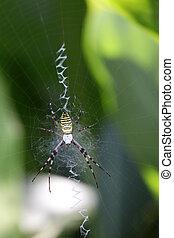 argiope bruennichi - wasp spider (Argiope bruennichi) on his...