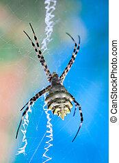 Argiope lobata Araneidae - A terrible poisonous spider...