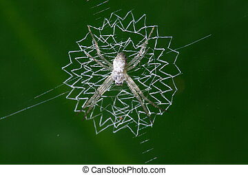 Argiope Spider - Argiope spider forms orb webs made of...