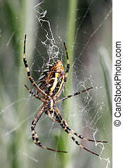 Argiope (spider) - details of an Argiope in a spider web