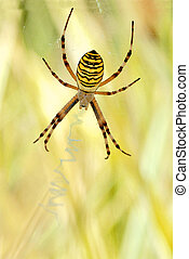 Argiope spider on its web