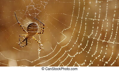 argiope spider waiting for its prey