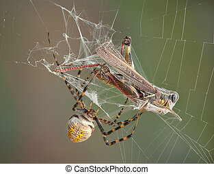Argiope spider wrapping hopper - A female argiope spider is...