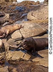 Arguing California sea lion Zalophus californianus shouting...