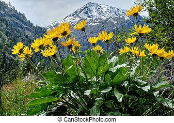 Arinca in alpine meadows. - Balsamroot or sunflowers....