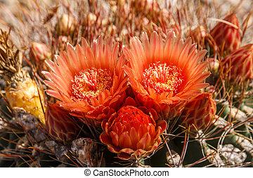 Arizona Barrel Cactus Flowers