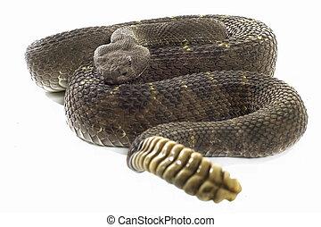 Arizona Black Rattler - Arizona Black Rattlesnake coiled and...