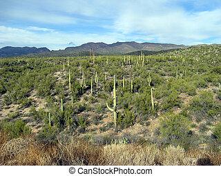 Arizona Cactus Field