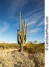 arizona, cactus, scottsdale, saguaro
