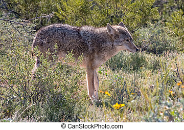 Arizona Coyote walking through the Desert in the Spring