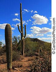 Arizona, Saguaro in Tucson Mountain Park