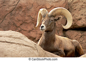 Arizona Desert Bighorn Ram